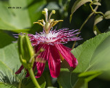 5F1A9109_Passionflower_.jpg
