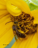 5F1A9135_Big_bee.jpg