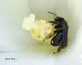 5F1A9174_Twospotted_Longhorn_Melissodes_bimaculatus_.jpg