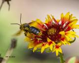 5F1A9203_Longhorned_Bees_Eucerini_Svastra_Subgenus_Epimelissodes.jpg