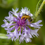 5F1A9658_Furrow_Bee_Halictus_.jpg