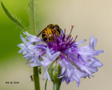 5F1A9674_Furrow_Bee_Halictus_.jpg
