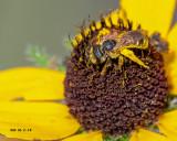5F1A9712_Furrow_Bee_Halictus_.jpg