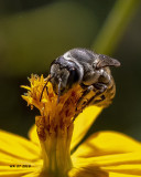 5F1A9921_Parallel_Leafcutter_Bee_Megachile_parallela_.jpg