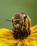 5F1A0201_Longhorned_Bee_Eucerini_Svastra_.jpg