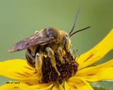 5F1A0204_Longhorned_Bee_Eucerini_Svastra_.jpg