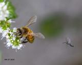 5F1A0303_European_Honeybee_.jpg