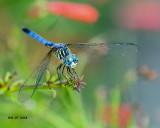 5F1A0417_Blue_Dasher_m_.jpg