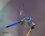 5F1A0526_Blue_Dasher_.jpg