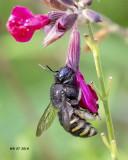 5F1A0677_Horseflylike_Carpenter_Bee_.jpg