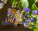 5F1A1225_Monarch_.jpg
