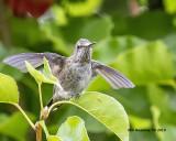 5F1A1451_hummingbird_.jpg