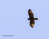 5F1A1626_Redtail_Hawk_.jpg
