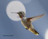5F1A1667_Annas_Hummingbird_imm_m_.jpg