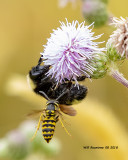 5F1A1729_Yellow_Jacket_and_bee_.jpg