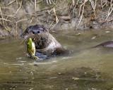 5F1A1876_River_Otter_w_Bullfrog_.jpg