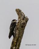 5F1A2014 Tree Swallow juv .jpg