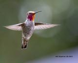 5F1A2206_Annas_Hummingbird_.jpg