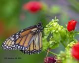 5F1A3168_Monarch_.jpg