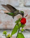 5F1A3178_Rubythroated_Hummingbird_.jpg