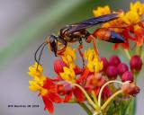 5F1A3279_Great_Golden_Digger_Wasp_Sphex_ichneumoneus_.jpg