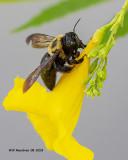 5F1A3303_Eastern_Carpenter_Bee_.jpg