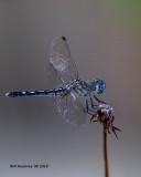 5F1A3337_Blue_Dasher_f_.jpg