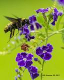 5F1A3474_American_Bumblebee_.jpg