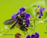 5F1A3486_American_Bumblebee_.jpg