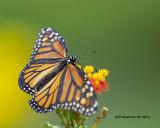 5F1A3690_Monarch_.jpg
