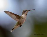 5F1A3661_imm_male_Rubythroated_Hummingbird_.jpg