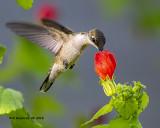 5F1A3848_Rubythroat_Hummingbird_.jpg