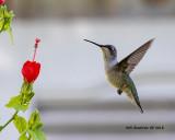 5F1A3855_Rubythroat_Hummingbird_.jpg