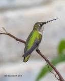 5F1A3919_Rubythroat_Hummingbird_.jpg