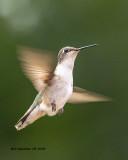 5F1A3929_Rubythroat_Hummingbird_.jpg