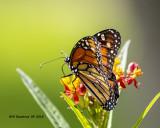 5F1A4087_Monarch_.jpg
