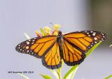 5F1A4099_Monarch_.jpg