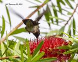 5F1A4101_Rubythroat_Hummingbird_.jpg