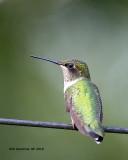5F1A4232_Rubythroat_Hummingbird_.jpg