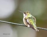 5F1A4366_Rubythroat_Hummingbird_.jpg