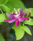 5F1A4379_Passion_flower_.jpg