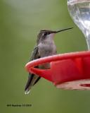 5F1A4400_Rubythroat_Hummingbird_.jpg