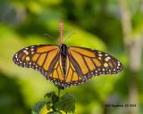 5F1A4451_Monarch_.jpg