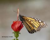 5F1A4462_Monarch_.jpg