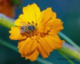 5F1A4552_European_Honey_Bee_.jpg
