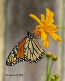 5F1A4645_Monarch_.jpg