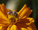 5F1A4693_Ligated_Furrow_Bee_Halictus_Odontalictus_ligatus_Halictus_ligatus_.jpg