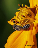 5F1A4711_Ligated_Furrow_Bee_Halictus_Odontalictus_ligatus_Halictus_ligatus_.jpg
