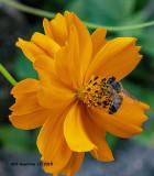 5F1A4726_European_Honey_Bee_.jpg