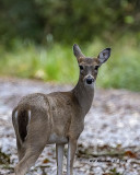 5F1A4888_Deer_.jpg